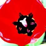 Trancendent Tulip #5