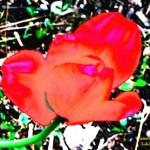 Transcendent Tulip #8