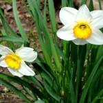 Narsisis