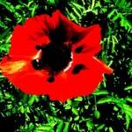 lasteel2015 poppy