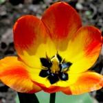 Yellow Orange Tulip 2015