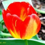 tulip signed