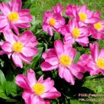 pink peonies 3