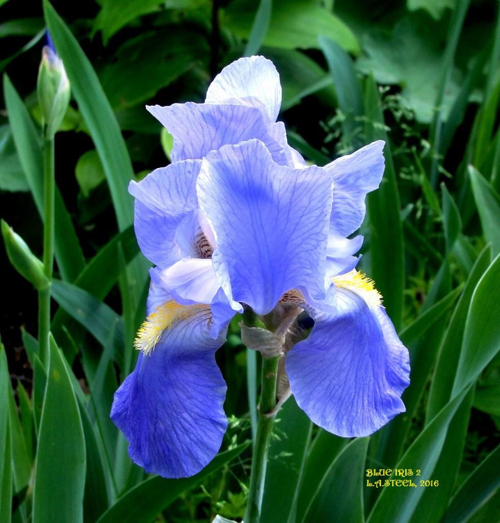BLUE IRIS 2 2016