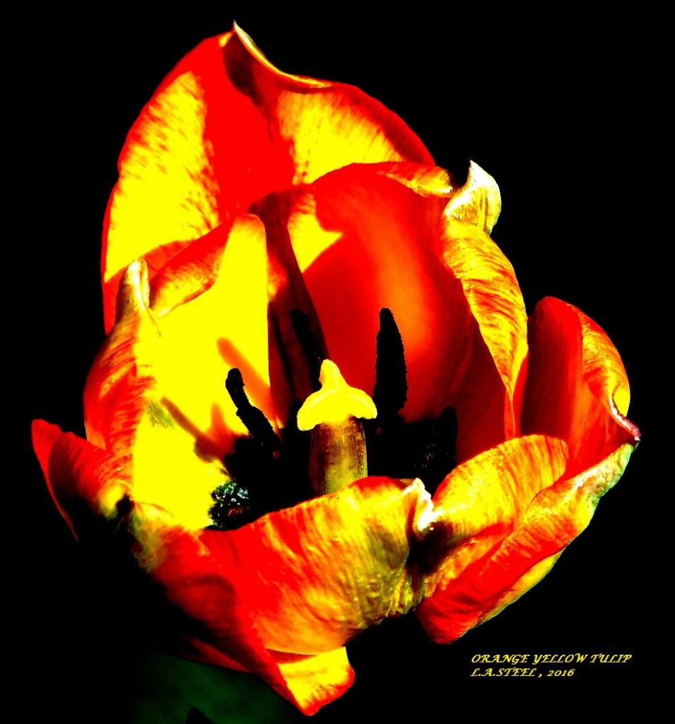 orange yellow tulip 2016