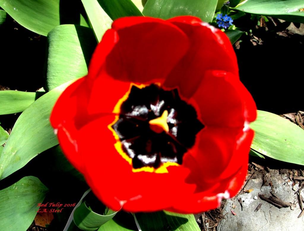 red tulip 2016