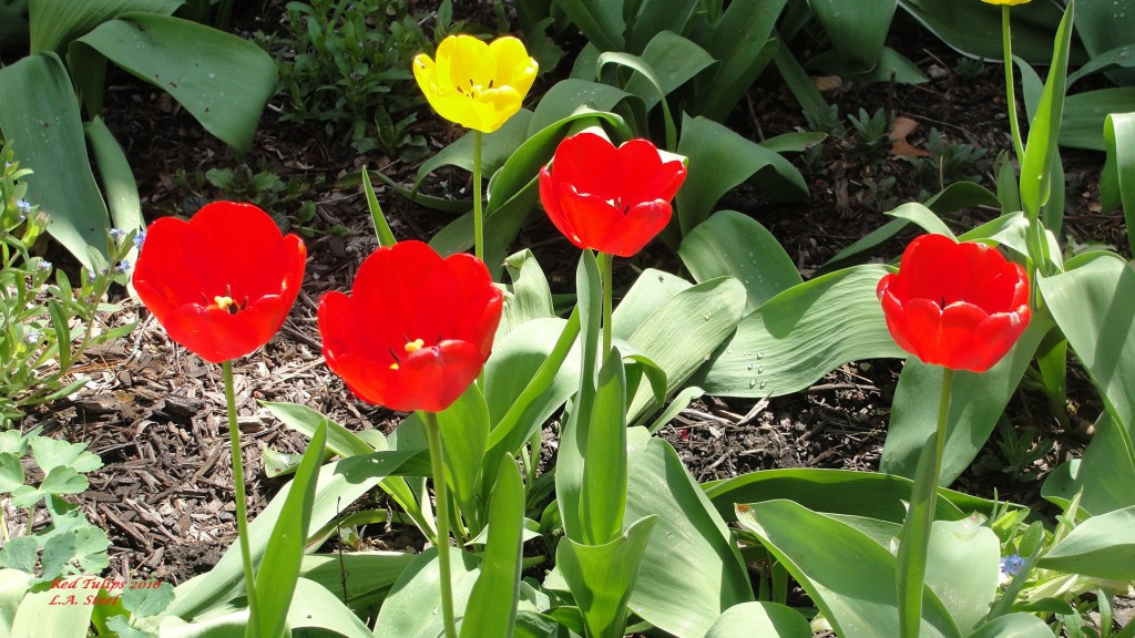 red tulips 2016