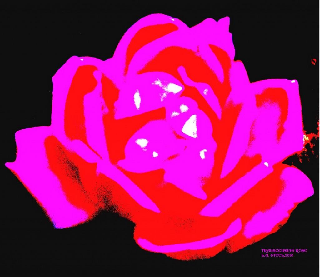 transcending rose 3 2016