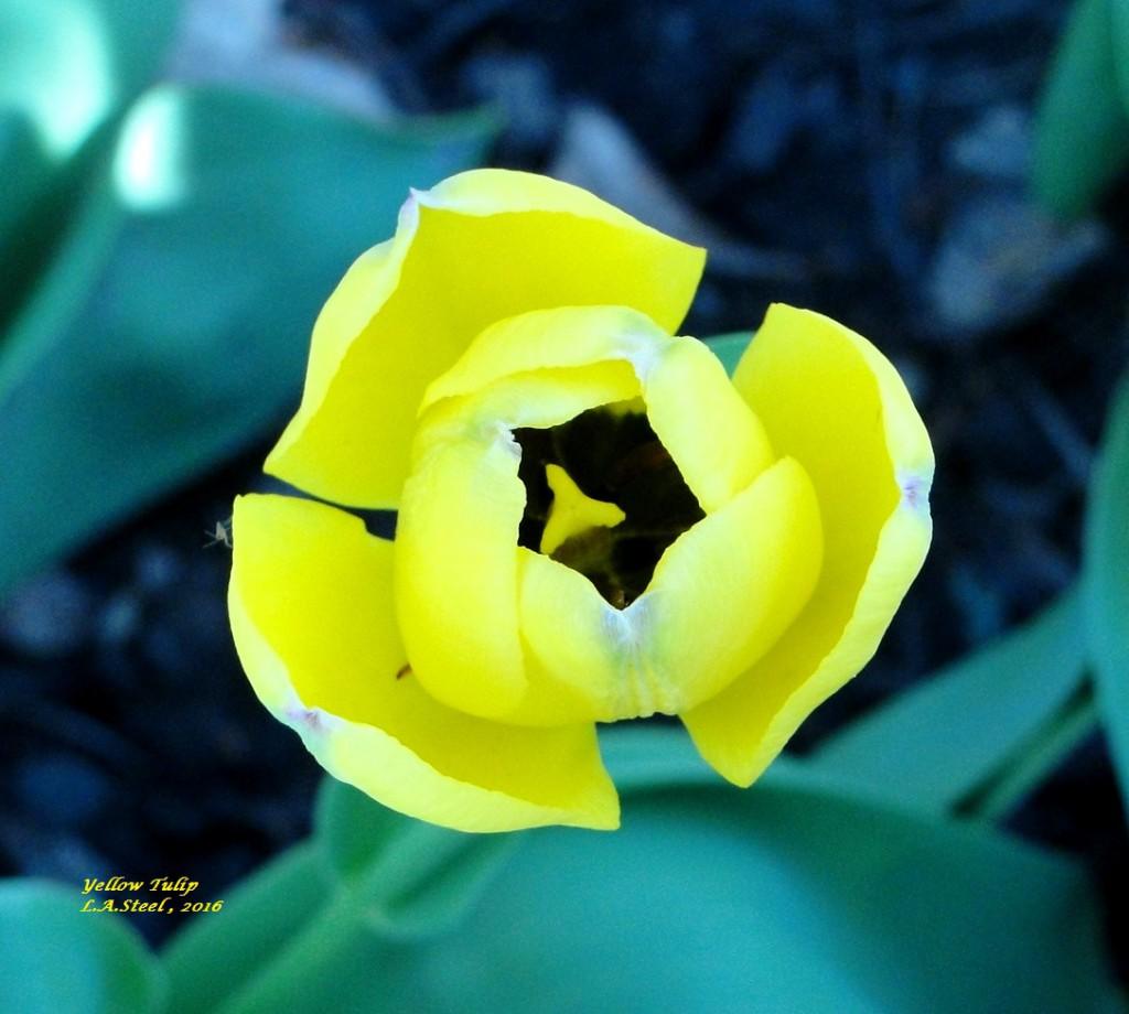 yellow tulip 1 2016