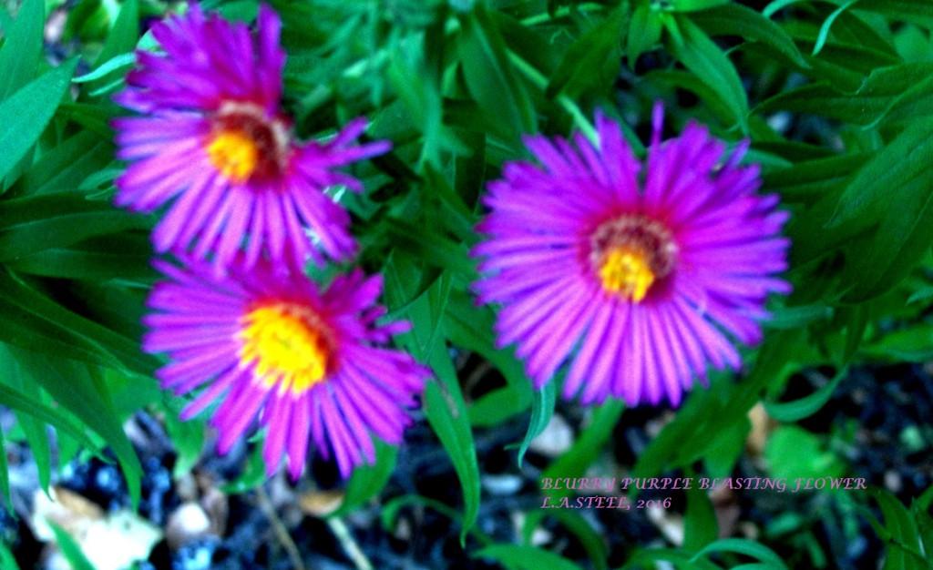 blurry-purple-blasting-flower-2016