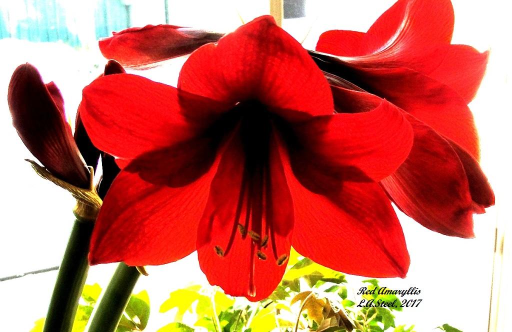 red amaryllis 1 2017