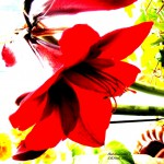 red amaryllis 2