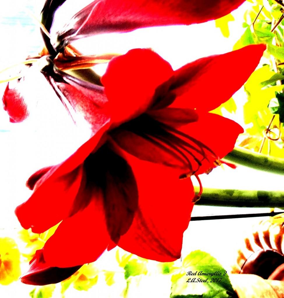 red amaryllis 2