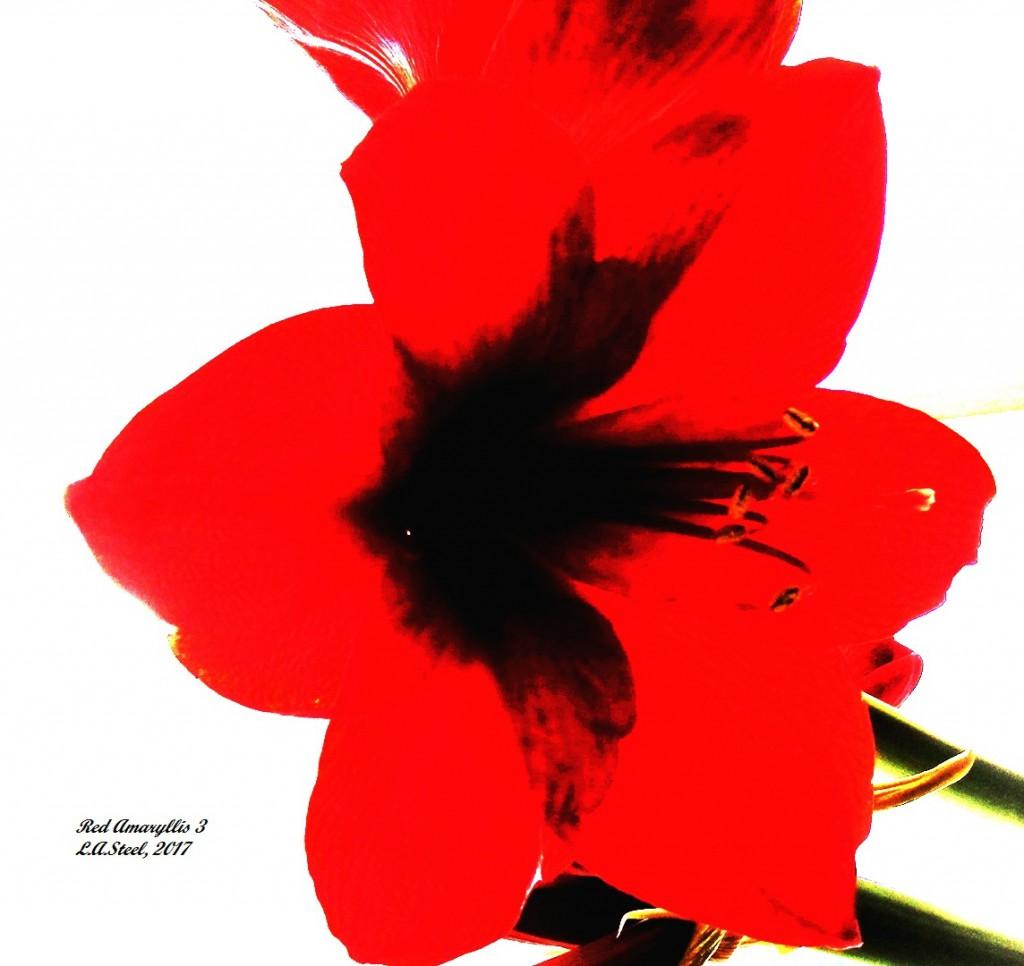 red amaryllis 3