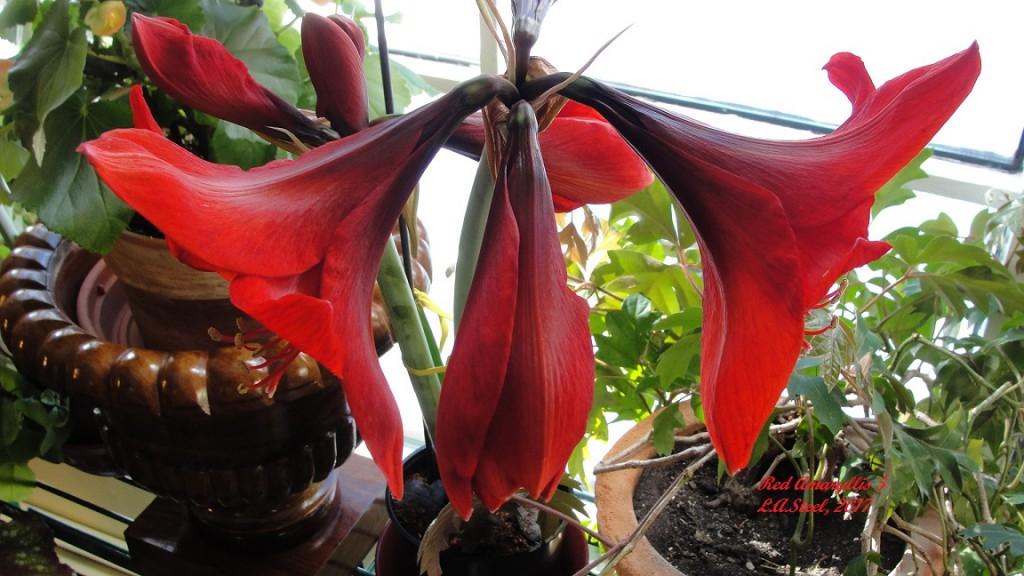 red amarylllis 5
