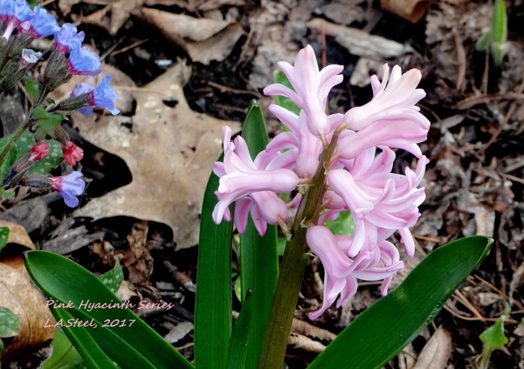 pink hyacinth 2 2017