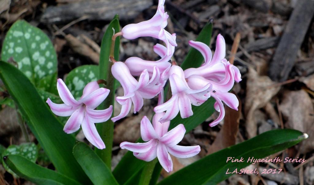 pink hyacinth 3 2017