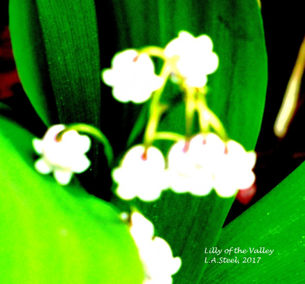 lilly of the valley 2017