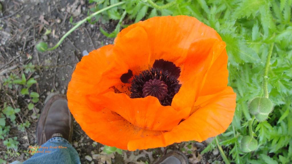 orange poppy first bloom 2017