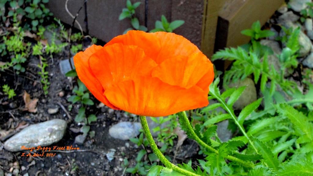 orange poppy first bloom 3 2017