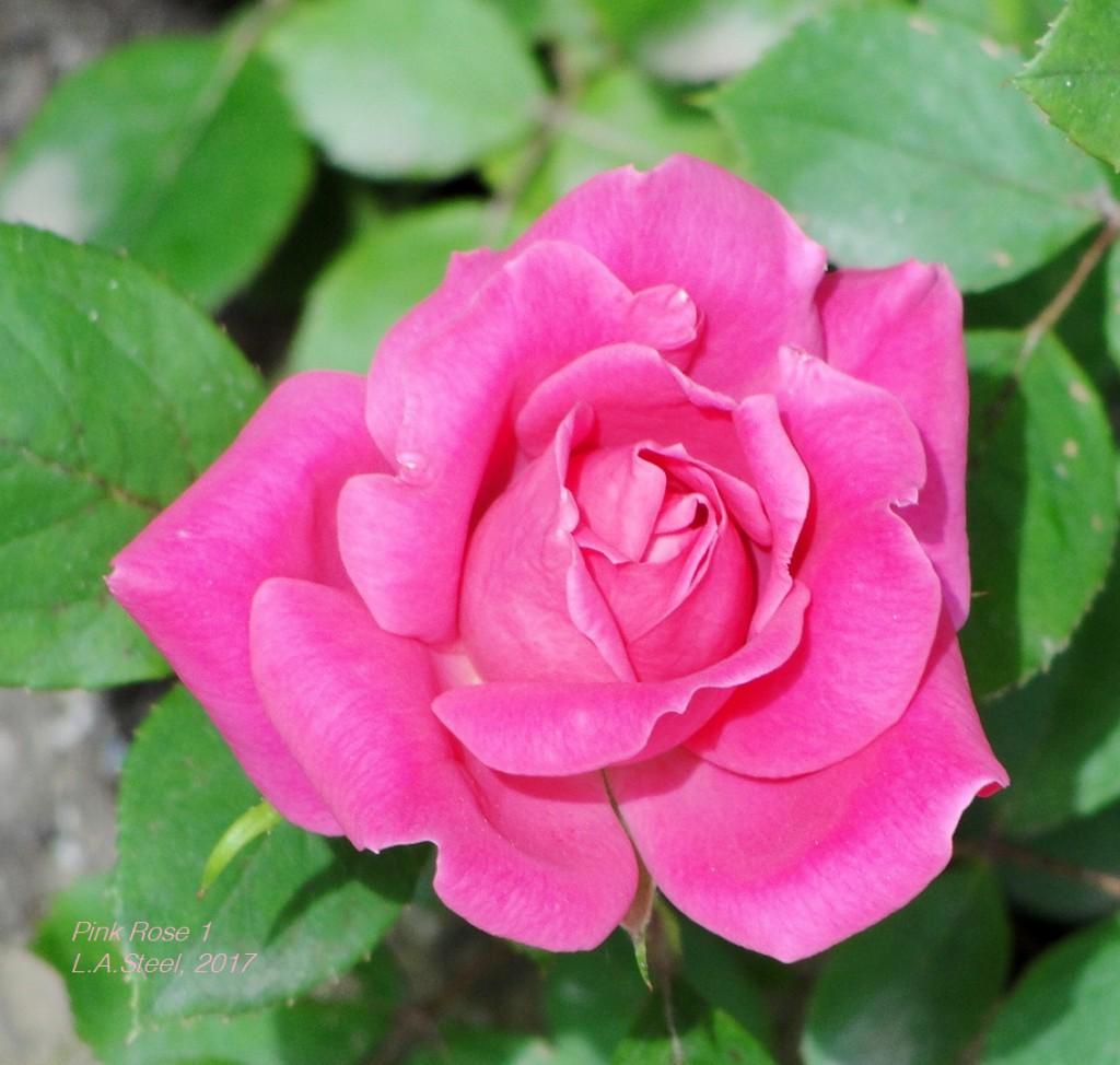 rose 1 2017