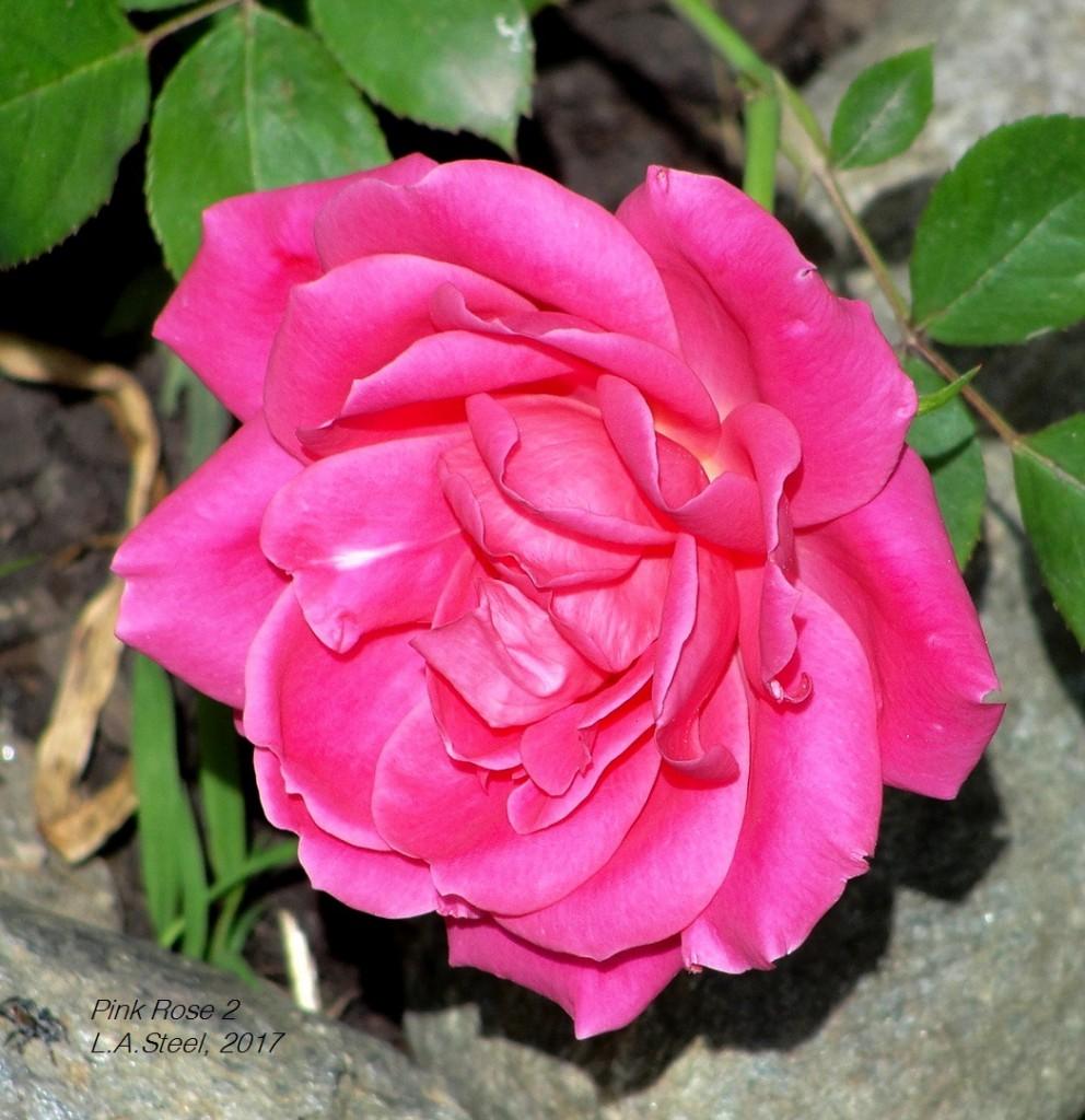 rose 2 2017