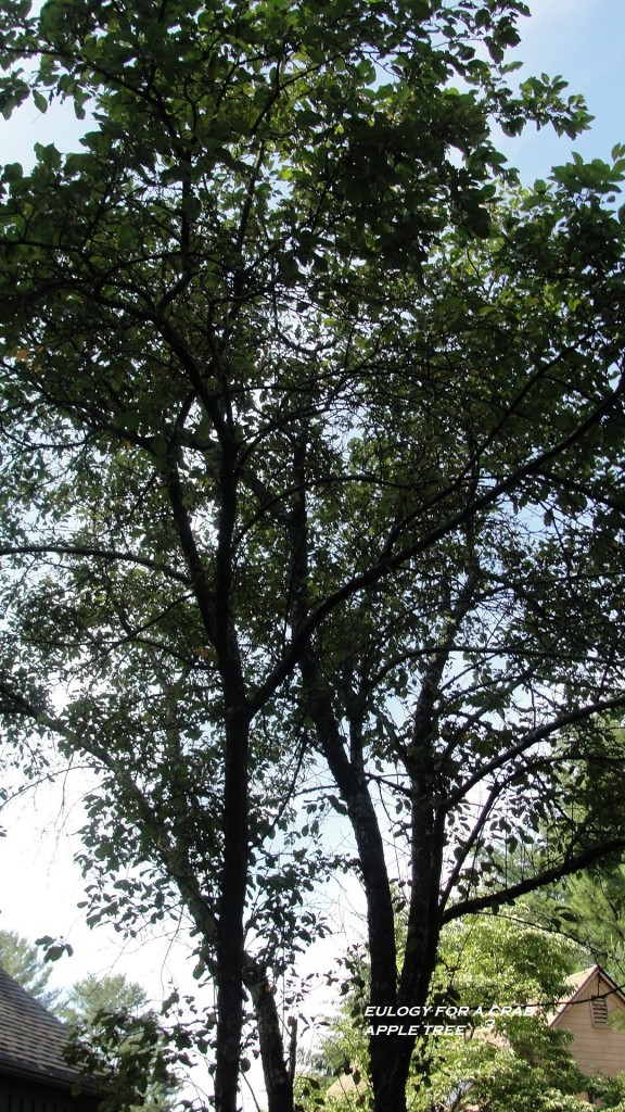 eulogy for a crab apple tree 3 2017