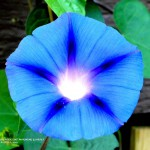 MAGNIFICENT MORNING GLORIES 2017.jpg 3