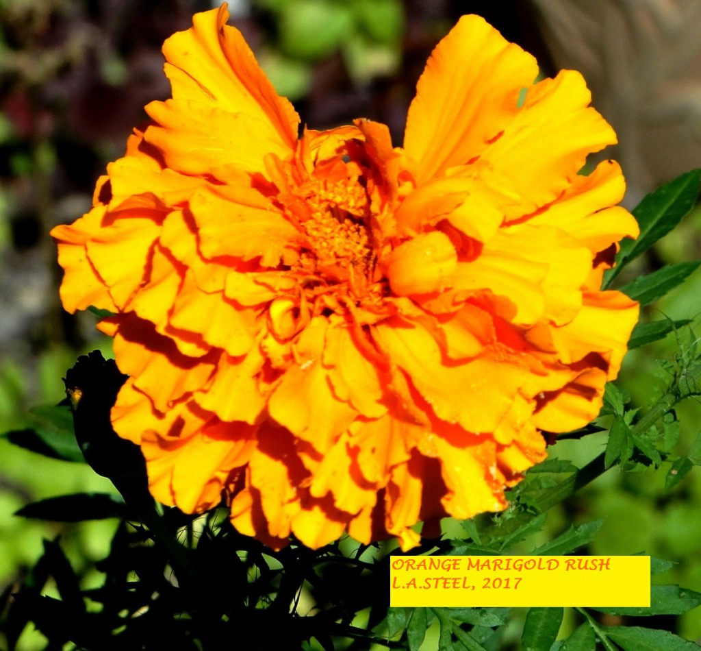 ORANGE MARIGOLD RUSH 2 2017