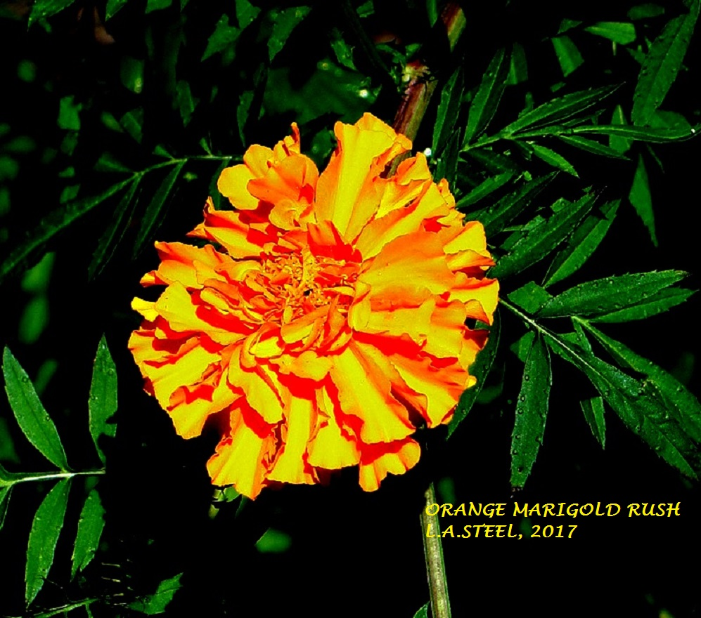 ORANGE MARIGOLD RUSH 2017