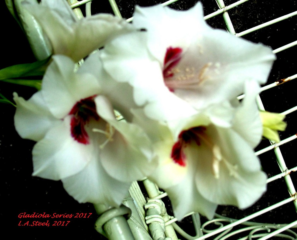 gladiola series 2 2017