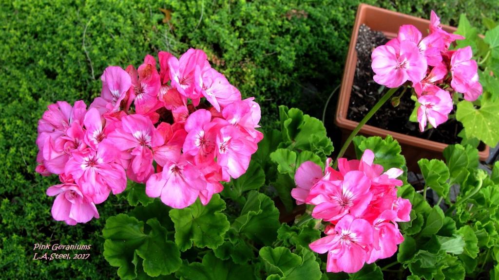 pink geraniums 2 2017