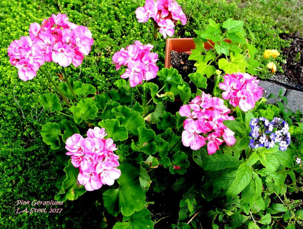 pink geraniums 2017