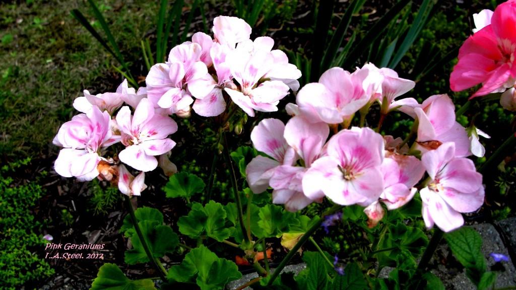 pink geraniums 3 2017