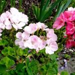 pink geraniums 4 2017
