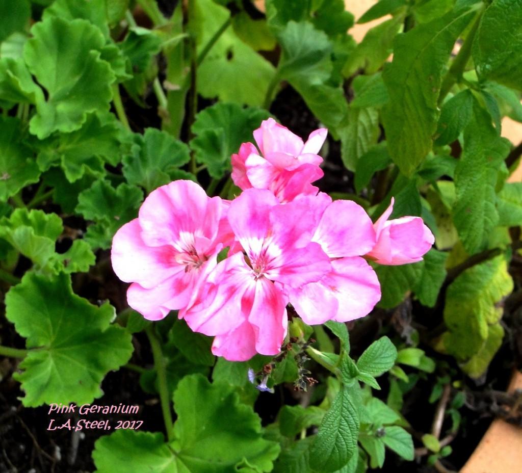 pink geraniums 5 2017