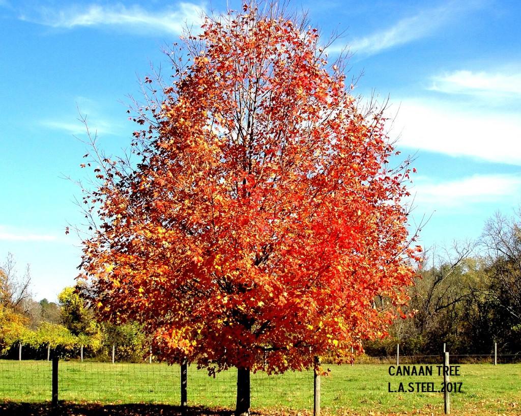 canaan tree 2017