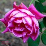 october roses 2 2017