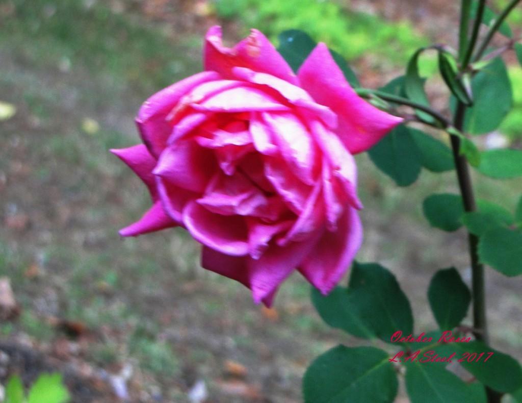 october roses 2017
