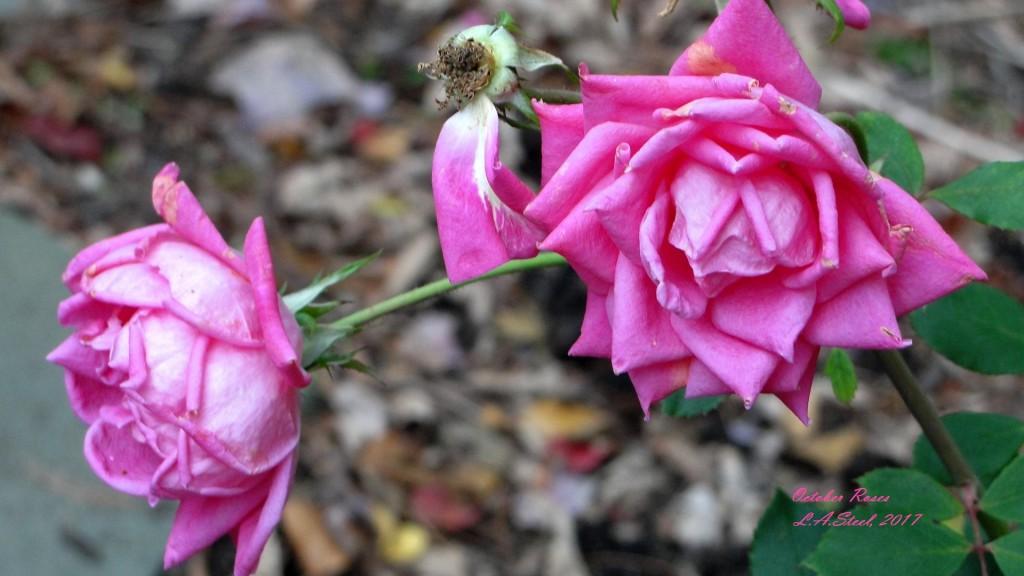 october roses 3 2017