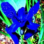 BLUE WILD IRIS 2015