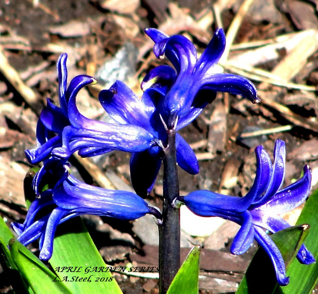 april garden series blue hyacinth 2018