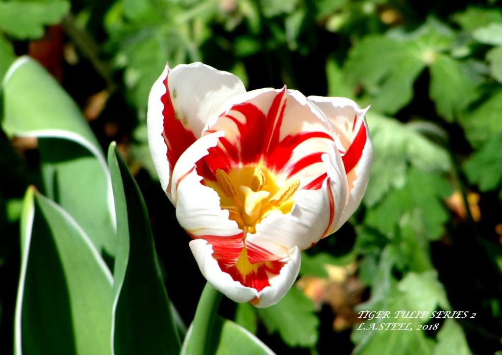 tiger tulip series 2 2018