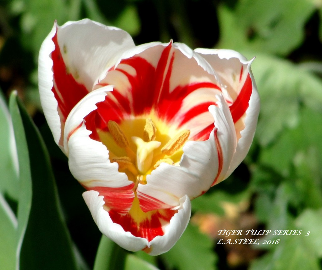 tiger tulip series 3 2018
