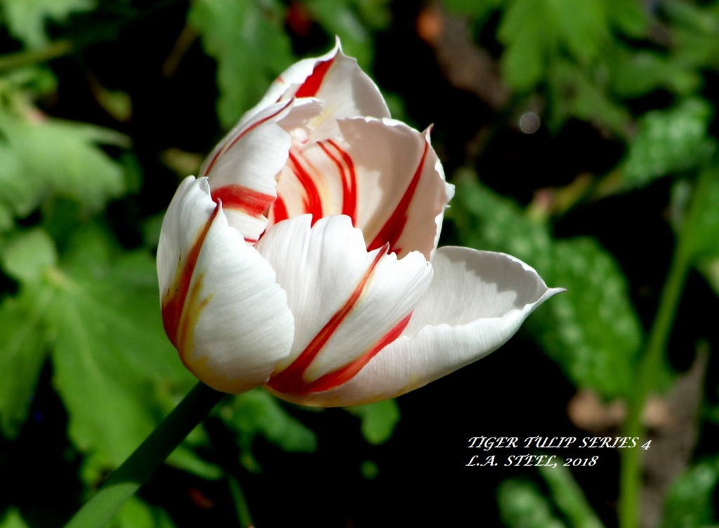 tiger tulip series 5 2018