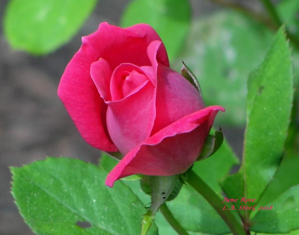 June Rose 2018 1