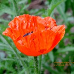 ORANGE POPPY SERIES 2018 2