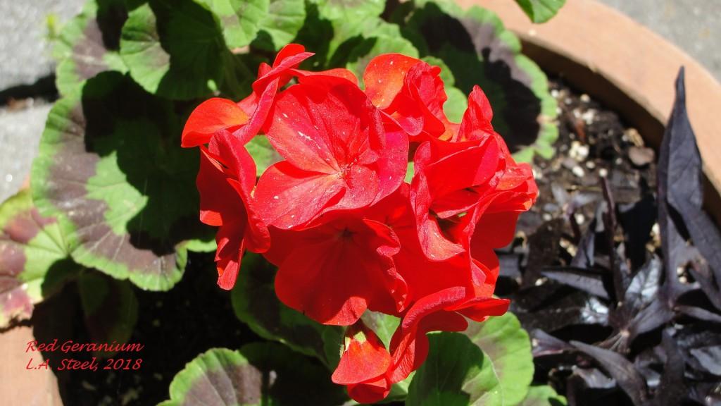 red geranium 2 2018