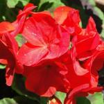 red geranium 2018