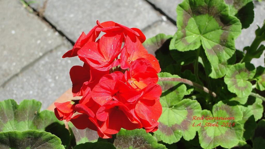 red geranium 3 2018